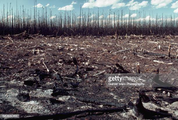 Charred Remains After Forest Fire