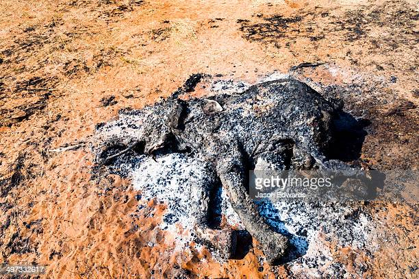 Charred remains of an African Elephant poached for bush meat and burned to prevent Anthrax spread.