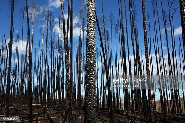 Charred remains of trees are seen outside of downtown Fort McMurray Alberta on June 4 a month after raging forest fires sparked a mass evacuation of...