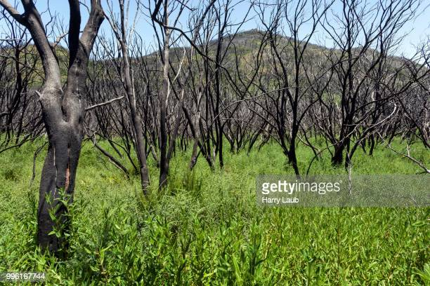 charred shrubs in green vegetation, traces of the forest fire of 2012, behind the garajonay, la gomera, canary islands, spain - united_states_senate_election_in_virginia,_2012 stock pictures, royalty-free photos & images