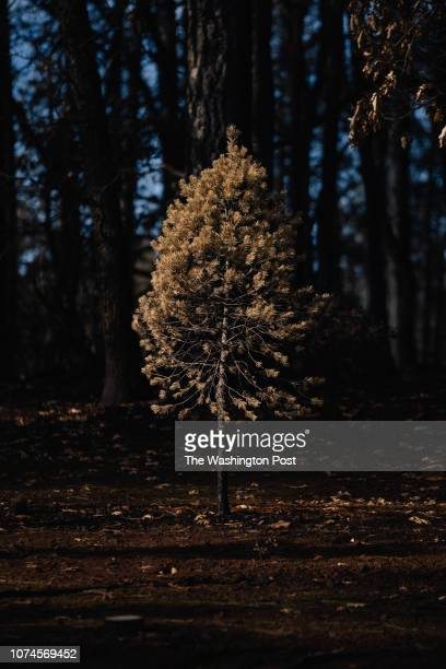 60 Top Christmas Tree Farm Pictures Photos Images Getty Images