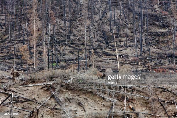 Charred tree trunks burned by forest fire, Jasper National Park, Alberta, Canada.