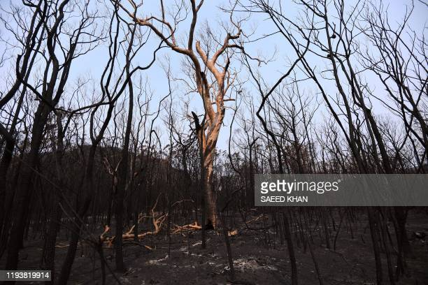 TOPSHOT Charred trees are seen following bushfires in Budgong National Park in New South Wales on January 15 2020 The confirmed death toll rose to 28...