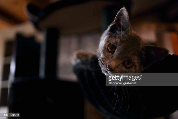 Chartreux cat lying on a bed