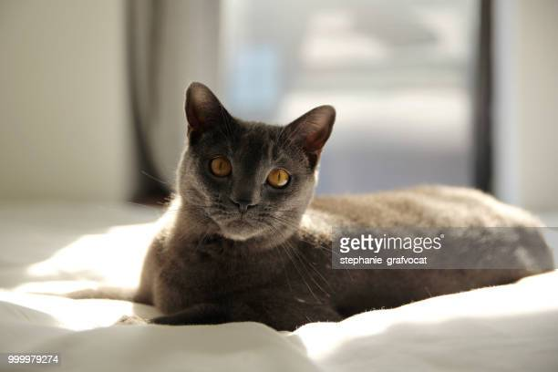 Chartreux cat lying on bed in the sunlight