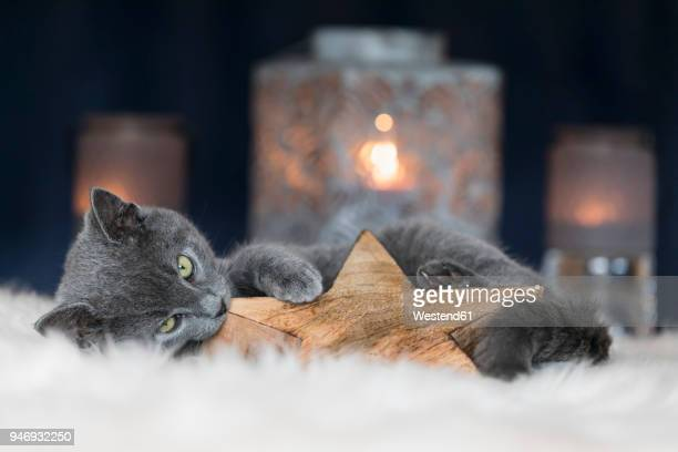 chartreux kitten playing with christmas decoration - christmas kittens stock pictures, royalty-free photos & images
