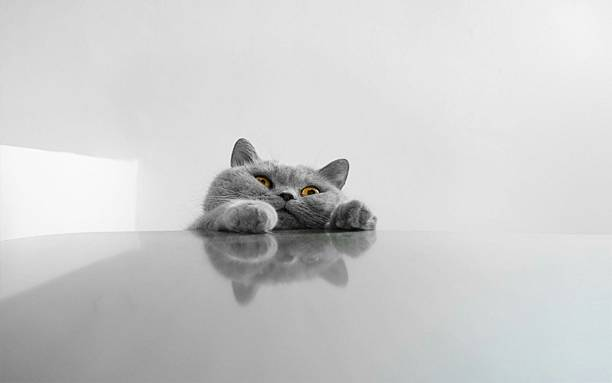 Chartreux Rearing Up On Table Against Wall Wall Art