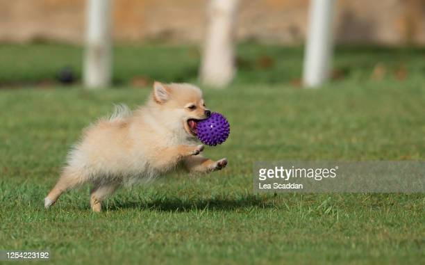 chasing ball - 純血種のイヌ ストックフォトと画像