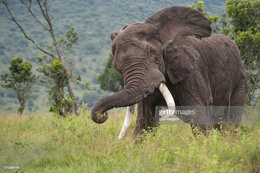 Chasing Elephant in the Masai Mara : Bildbanksbilder