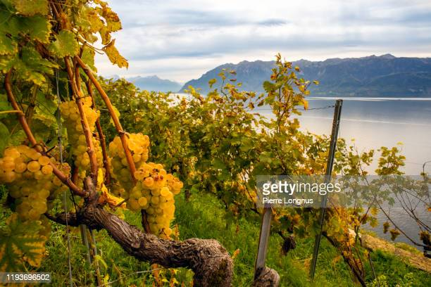 chasselas grapes on vine, lavaux vineyard in autumn, lake geneva and the alps - vaud canton stock pictures, royalty-free photos & images