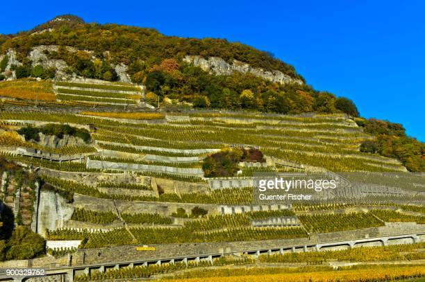 Chasselas vines, terraced steep slopes, vineyard Aigle les Murailles, Aigle, Chablais, Switzerland
