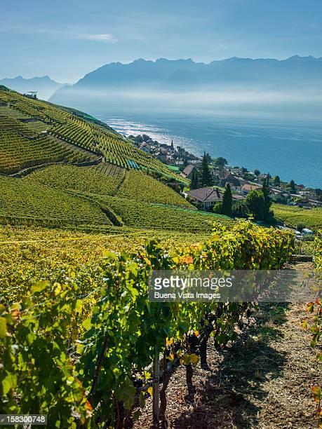 chasselas vineyard in lavaux region - ヴォー州 ストックフォトと画像