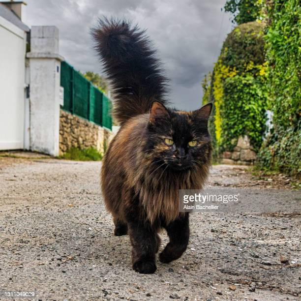 chat roux - alain bachellier photos et images de collection