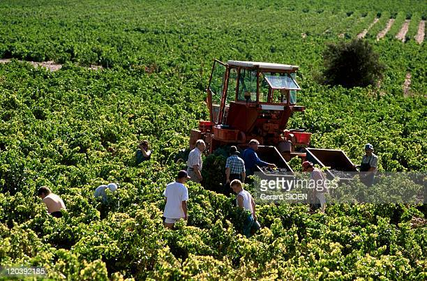 Chateauneuf Du Pape France Harvesting in the vineyards