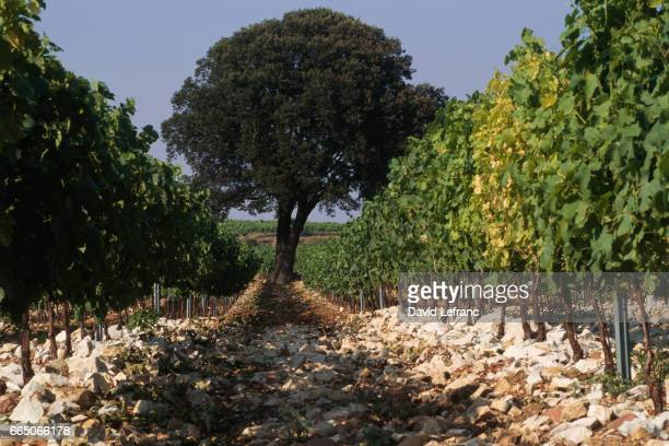 ChateauneufduPape Vineyard in the Vaucluse Department