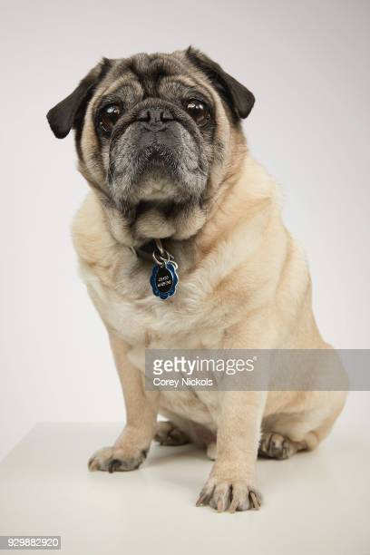 Chato the Pug from the film 'Pet Names' poses for a portrait in the Getty Images Portrait Studio Powered by Pizza Hut at the 2018 SXSW Film Festival...
