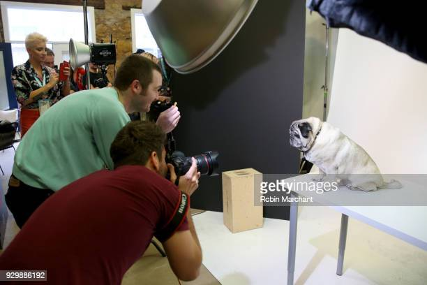 Chato the Pug from the film 'Pet Names' poses for a portrait in the Pizza Hut Lounge at 2018 SXSW Film Festival on March 9 2018 in Austin Texas
