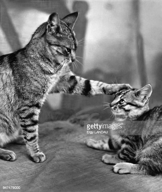 Chatte jouant avec son chaton