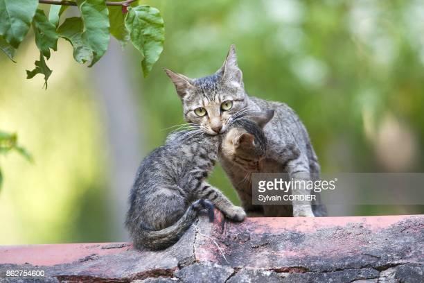 Chatte portant son petit par le cou