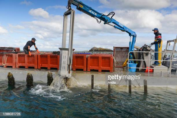 Chausey Islands farmed mussels harvest LenoirThomas organic oyster and shellfish producer from the Chausey Islands