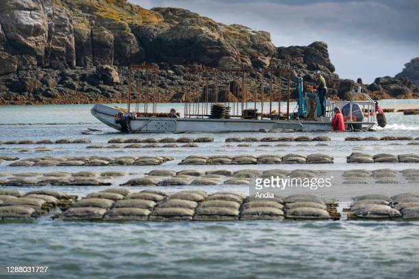 Chausey Islands oyster farming LenoirThomas organic oysters loading of oyster bags on barges LenoirThomas organic oyster and shellfish producer from...