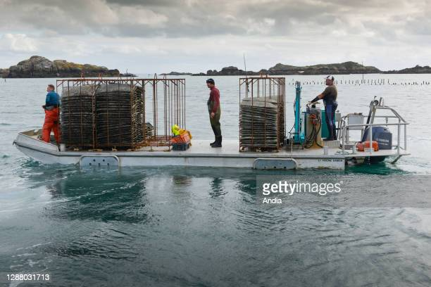 Chausey Islands oyster farming LenoirThomas organic oysters spats transported on a barge organic oyster and shellfish producer from the Chausey...