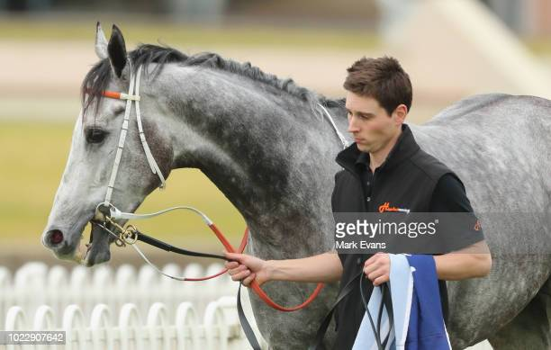 Chautauqua returns to the stalls after running in a barrier trial during Sydney Racing at Rosehill Gardens on August 25 2018 in Sydney Australia