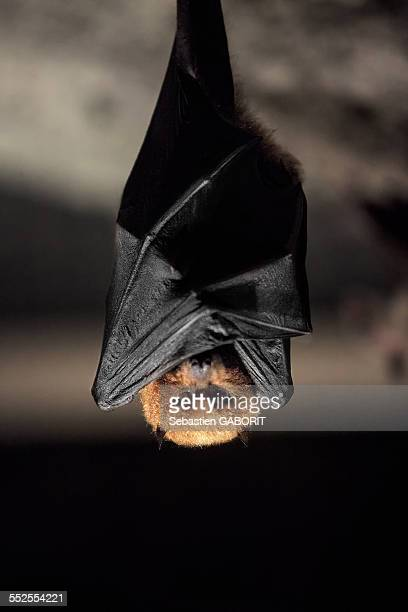 chauve souris bat - mammal stock pictures, royalty-free photos & images