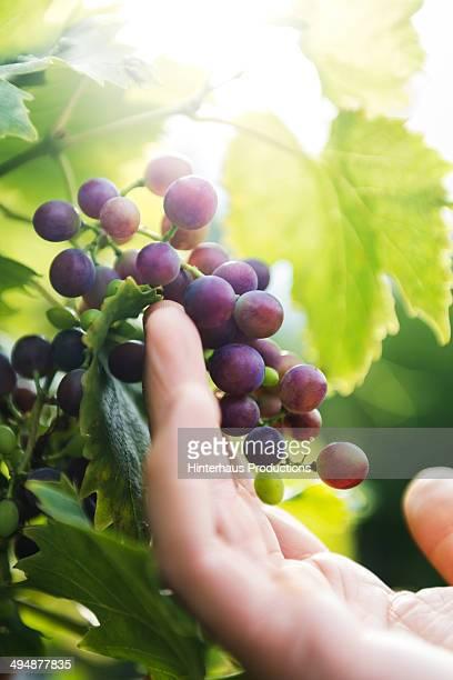 Checking Grapes