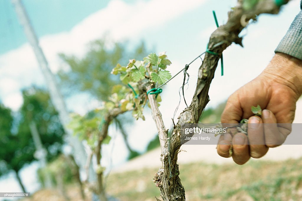 Checking grapevine : Stockfoto