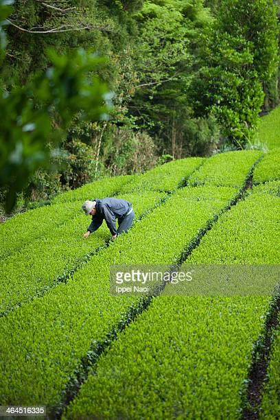 Checking green tea leaves, Shizuoka, Japan