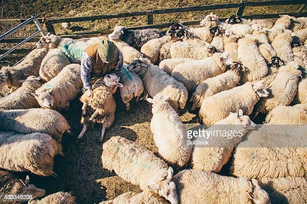 verificando no bando - pastor de ovelha - fotografias e filmes do acervo