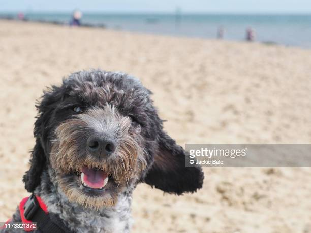 cheek cockapoo - cockapoo stock pictures, royalty-free photos & images