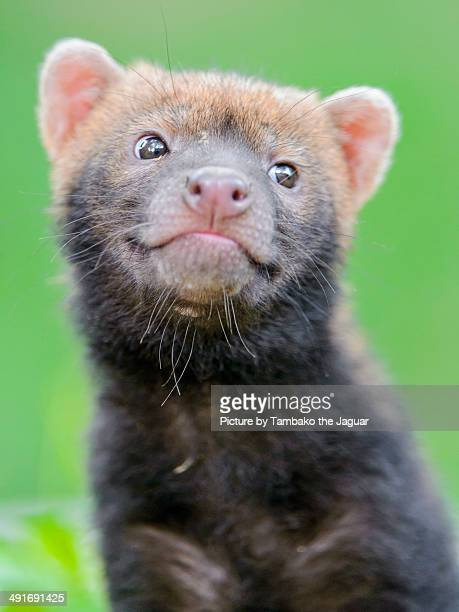 cheeky bush dog baby - bush dog stock pictures, royalty-free photos & images