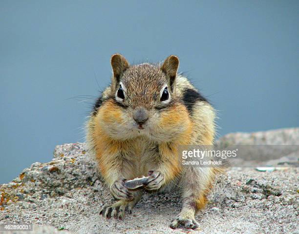 Cheeky Chipmunk in Colorado
