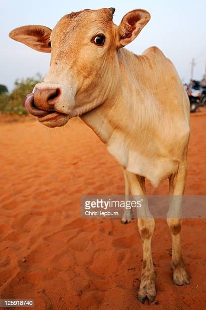 セクシーな牛。 - 動物の舌 ストックフォトと画像