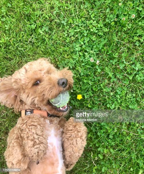 cheeky dog looking at camera - cute stock pictures, royalty-free photos & images