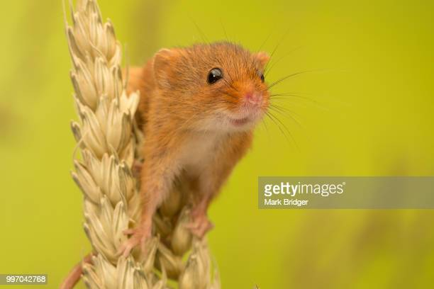 cheeky little smile - harvest mouse stock pictures, royalty-free photos & images