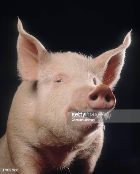 Cheeky Pig