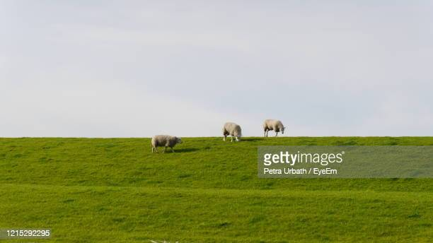cheep grazing on dike - grazing stock pictures, royalty-free photos & images