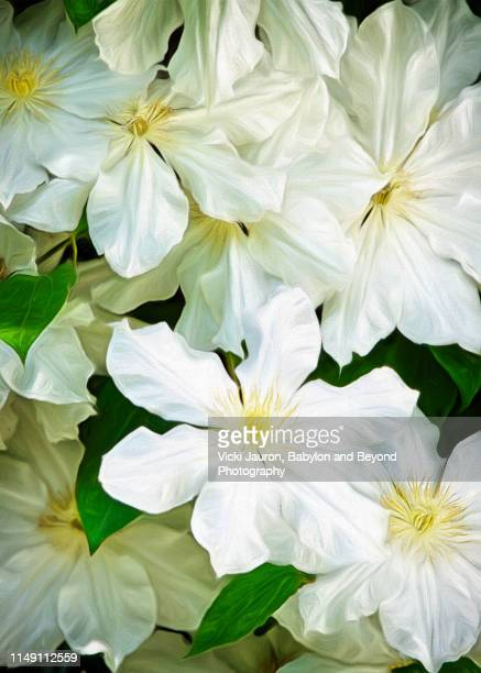 cheerful and pure white clematis in full bloom in a garden in east hampton - east hampton stock pictures, royalty-free photos & images