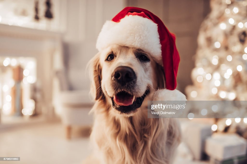 Cheerful dog labrador is sitting in Santa Claus hat. : Stock Photo