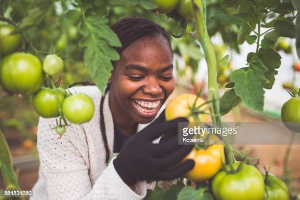 cheerful woman picking ripe organic tomatoes - black glove stock pictures, royalty-free photos & images