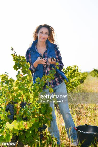 cheerful young woman harvesting grapes in vineyard during wine harvest season in autumn-