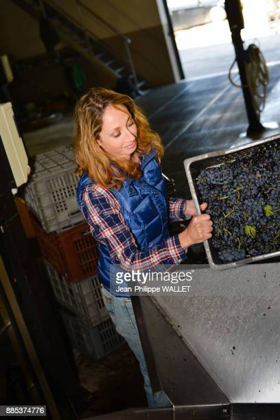 cheerful young woman in a cellar emptying a box of grapes in tank during wine harvest- Cepage Grenache, Chateauneuf du Pape, cotes du Rhone, France