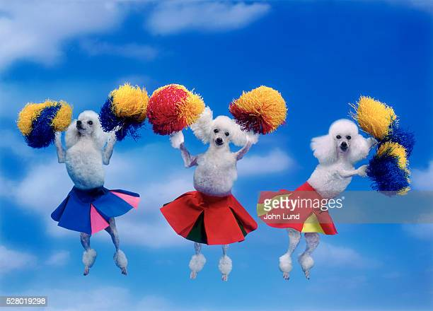 cheerleading poodles - john lund stock pictures, royalty-free photos & images