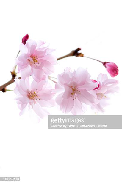 cheery  flowers - cherry blossom stock pictures, royalty-free photos & images