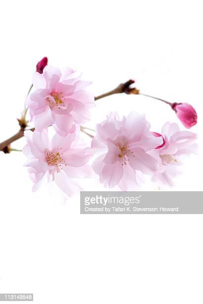 cheery  flowers - fleur de cerisier photos et images de collection