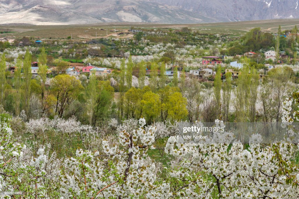 Cheery trees blossoming at springtime, southern Turkey : Stock-Foto