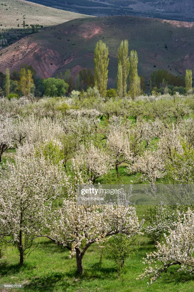 Cheery trees blossoming at springtime, southern Turkey : Stock Photo